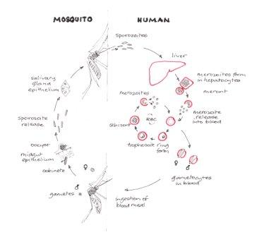 How plasmodium parasites use human and mosquito biology to amplify